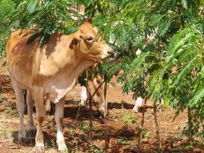 Young steer grazing 'Redlands', the new psyllid resistant leucaena