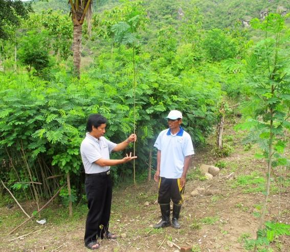 Bare stem leucaena ready for planting in Sumbawa, Indonesia
