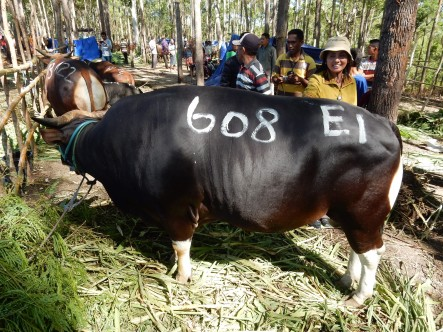 Leucaena fed Bali bull wins fattening competition, Timor Indonesia