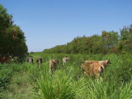 Cattle grazing leucaena in Michoacan, Mexico