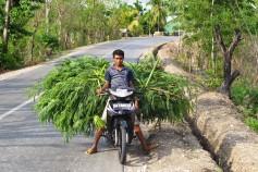 Cut and carry leucaena, Sumba, Indonesia