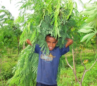 Cut and carry leucaena in Timor, Indonesia