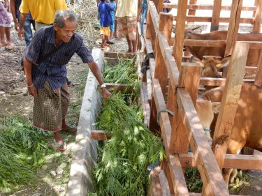 Feeding leucaena, Timor, Indonesia