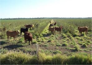 Fattening cattle on leucaena - Rhodes grass pasture in Central Queensland