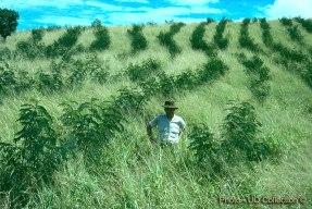 Leucaena being established in Rhodes grass in Southeast Queensland
