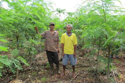 Smallholder leucaena for cattle fattening in Timor, Indonesia