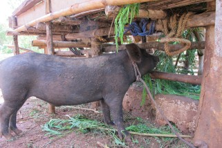 Pig doing well on leucaena in Timor, Indonesiaa