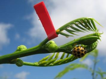 Lady bird beetle is predator of psyllids on leucaena