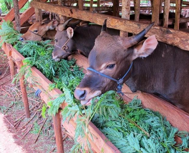 Bali bulls consuming 100% leucaena diet