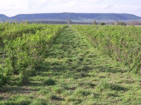 Leucaena grass pasture ready for grazing in Central Queensland