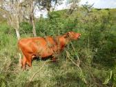 Dairy cow consuming leucaena in Colombia