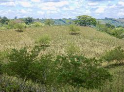 Well grazed leucaena in Colombia