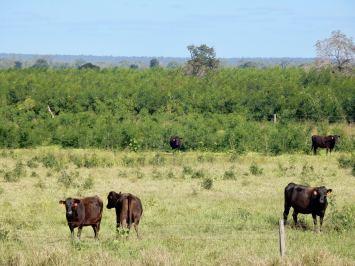 Wagyu cattle grazing leucaena in Central Queensland, Australia