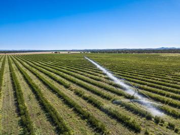 Irrigated leucaena in Central Queensland, Australia